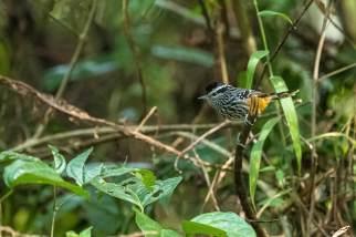 Ochre-rumped-Antbird-(David-Lindo)-klein