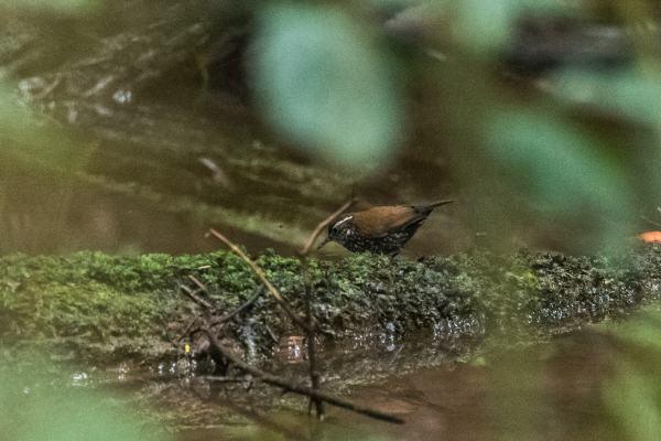 Sharp-tailed-Streamcreeper-(David-Lindo)