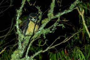 Tawny-browed-Owl-(David-Lindo)