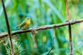 Yellow-Tyrannulet-(David-Lindo)-klein