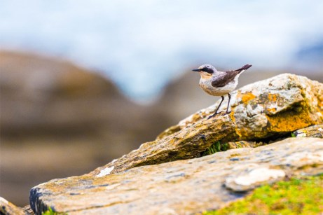 Northern-Wheatear-(David-Lindo)