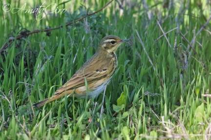 Olive-backed Pipit (Anthus hodgsoni). One of the 9 recorded at Linosa in autumn 2017. Since 2007, this species, formerly considered a vagrant in Italy, was recorded annually.