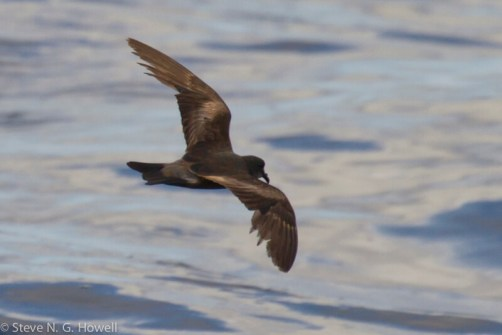 09-Leachs-complex-dark-rumped-At-sea-21-N-112-W-Col-73-of-75