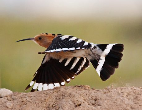 Hop vliegend; Eurasian Hoopoe flying