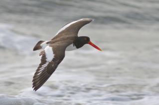American-Oystercatcher-Maryland-1025x684