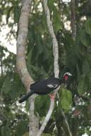 Red-thorated-Piping-Guan1-683x1025