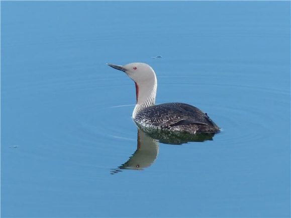 Red-throated-Diver