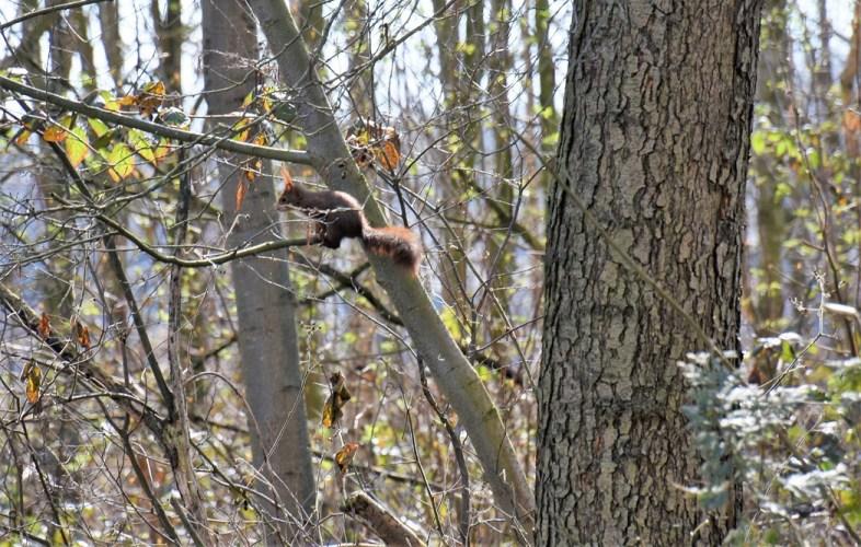 eekhoorn ( 11) (2)