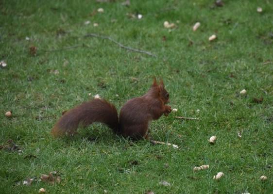 eekhoorn (25)