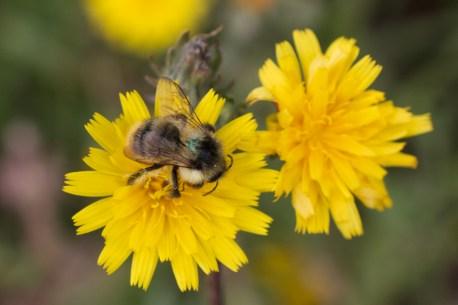 Shrill Carder Bee