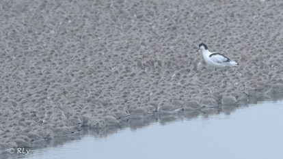 Avocet walking through dunlin