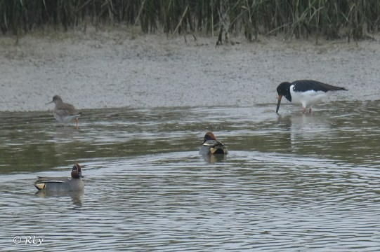 Oystercatcher and teal (ducks)