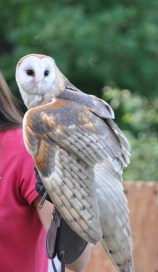 A barn owl, named Goblin. Barn owls are threatened here in the Midwestern U.S.