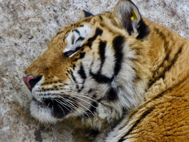 Harbin Siberian Tiger Park China.