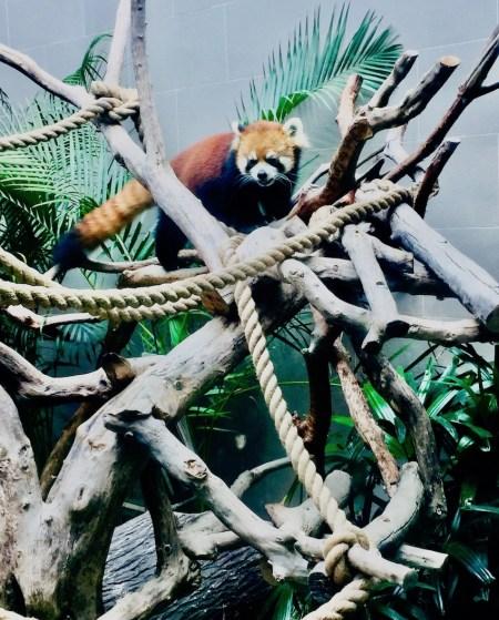 Red panda at Seac Pai Van Park Coloane Island Macau.