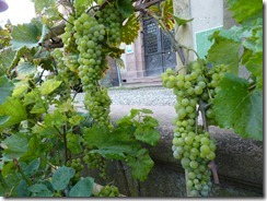 Real Alsatian grapes - though no wine production yet!