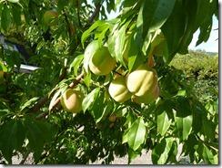 More peaches!