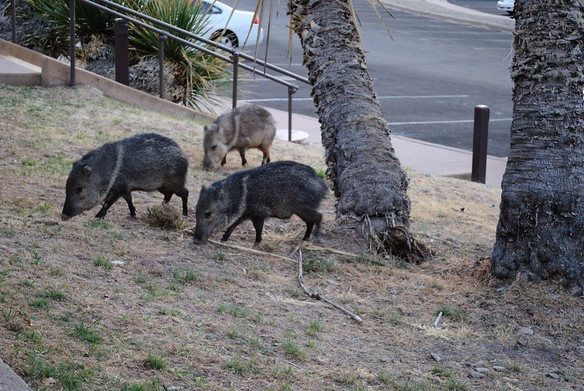 After dinner, there was some commotion outside our room - the javelina were visiting