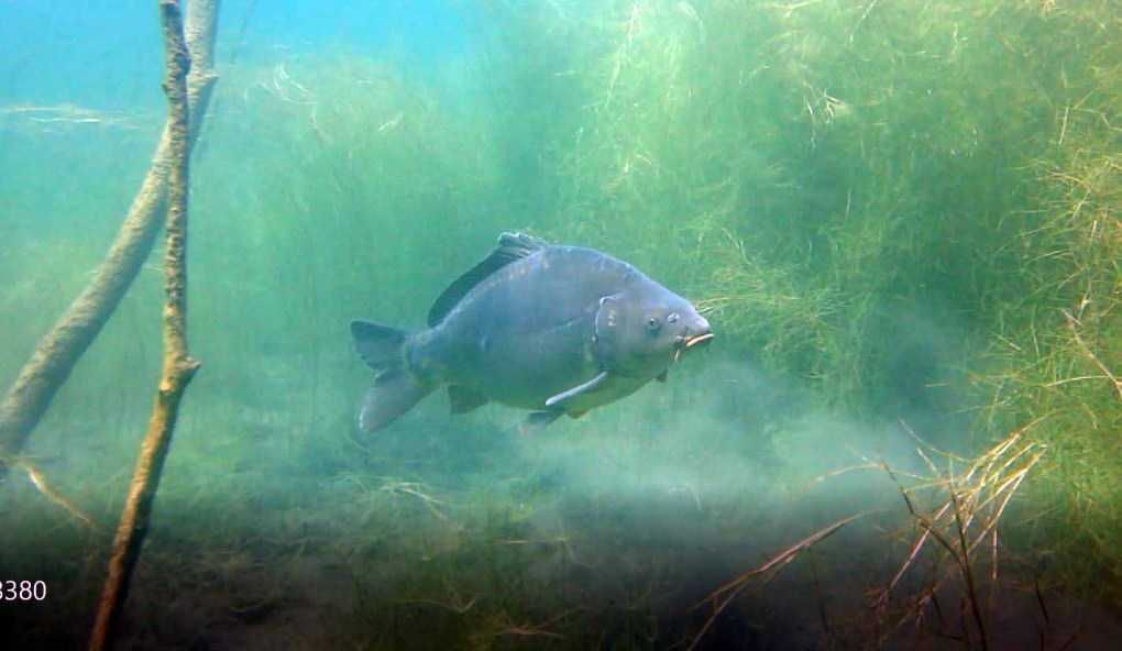 A carp seen up-close during scuba diving. (Photo courtesy of Harald Köpping)