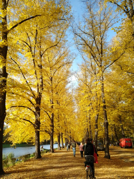 trees with yellow leaves autumn