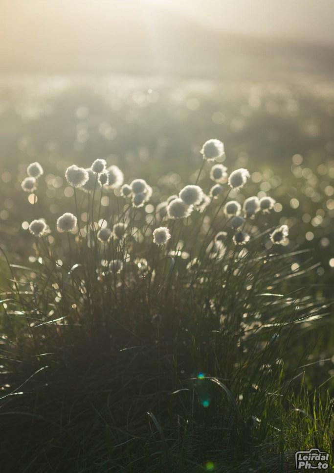 Cottongrass (Eriophorum)