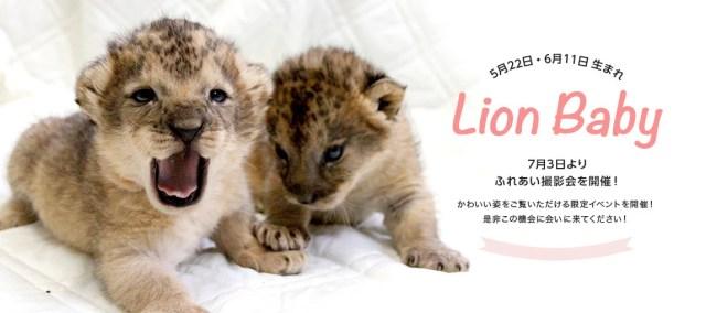 富士サファリパーク ライオンの赤ちゃん 混雑