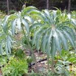Arisaema consanguinum