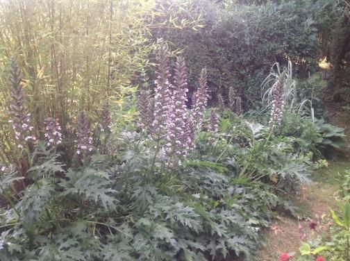 Acanthe au pied d'un bambou au petit matin...