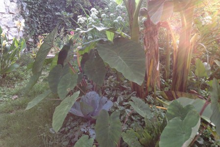 Colocasia : décoratif et comestible
