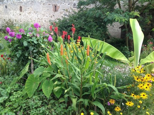 Hédychium Assam orange le jardin d'épices Laurent Lafaille