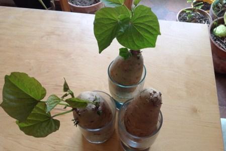 Cultiver des patates douces