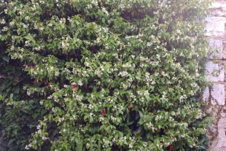 Un jasmin parfumé dans son jardin