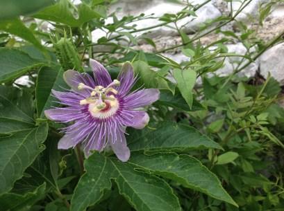passiflora incarnata, jardin exotique le jardin d'épices