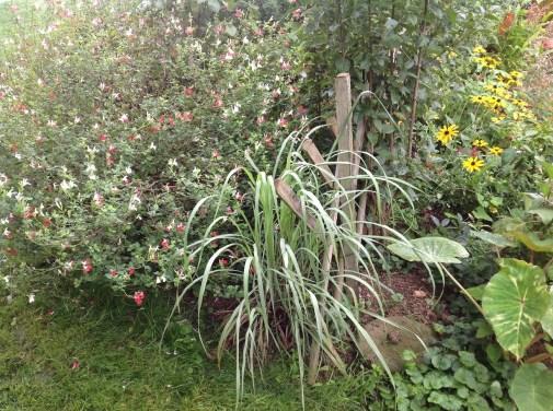 Cymbopogon citratus, jardin exotique le jardin d'épices