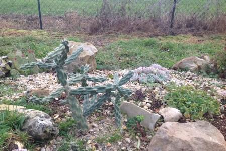 Les agaves et les opuntias rustiques