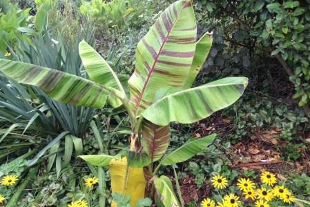 Le bananier du Sikkim