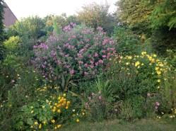 lavatere-massif-de-printemps-le-jardin-depices