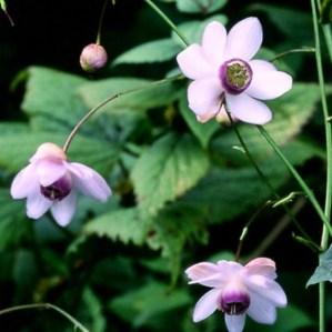 anemonopsis-macrophylla