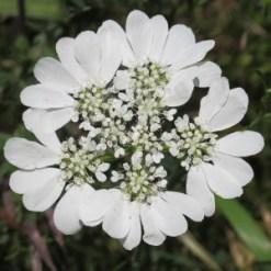orlaya-grandiflora