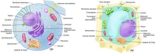 cellule-animale et végétale
