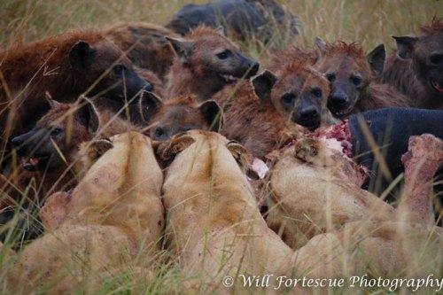 Quatre lionnes se sont invitées sur la carcasse d'un buffle fraîchement abattu par une vingtaine de hyènes. Quelques tartes ont volé mais aucun combat n'a éclaté.