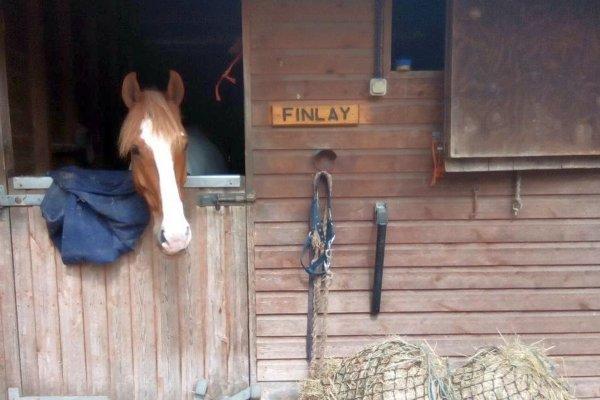 cheval anglais