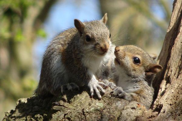 bébés écureuils en Angleterre
