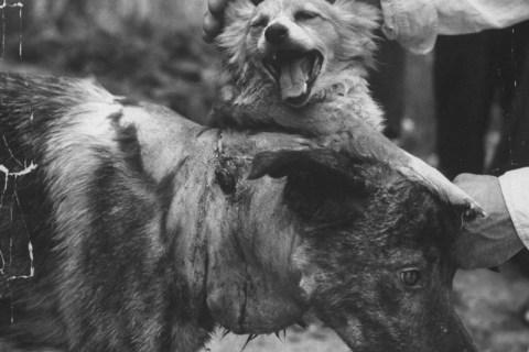 La folle histoire du savant soviétique qui créa un chien à deux têtes