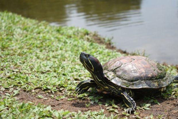 turtle ground