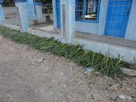 Enceng gondok dikeringkan di halaman rumah petani