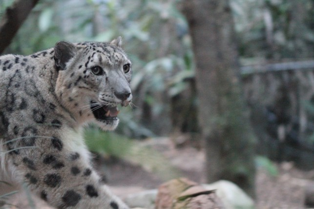 snow leopard male-hungry