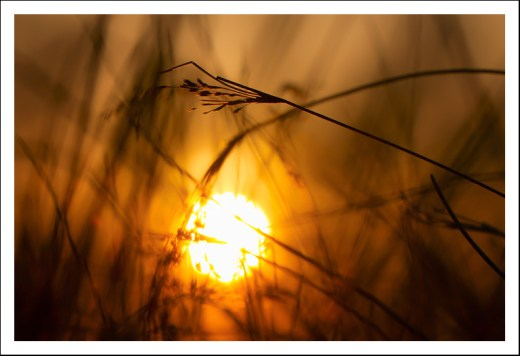 Sunset in the weeds
