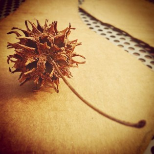 Sweetgum seed cc-by lemasney