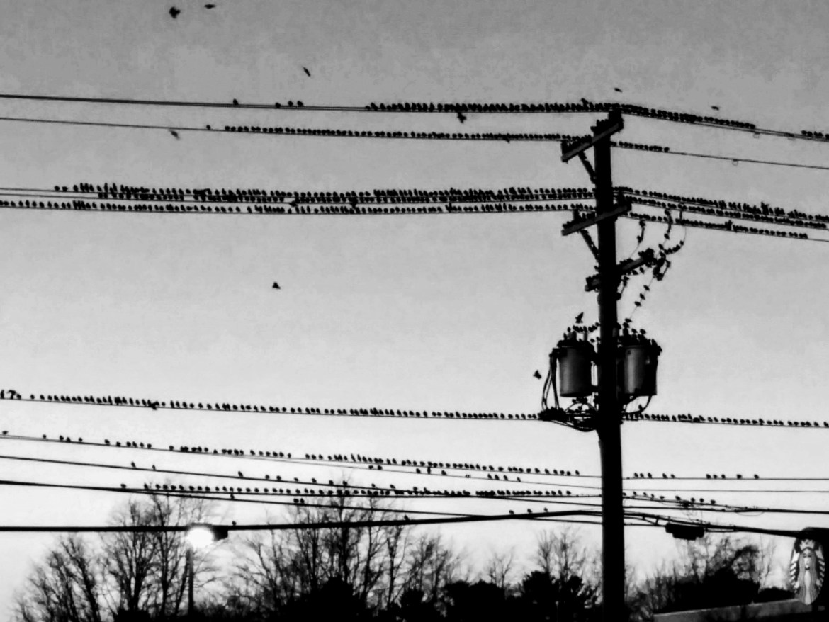 Large group of birds in Virginia, cc-by lemasney